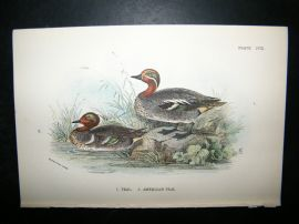 Allen 1890's Antique Bird Print. Teal